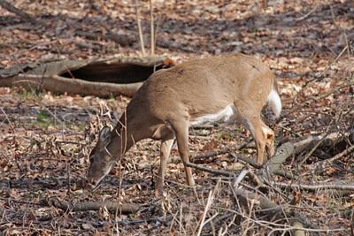 Grazing Whitetail Deer