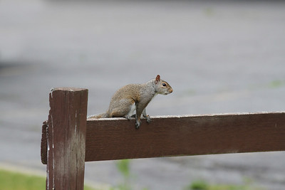 A Grey Squirrel sitting on a wooden fence railing