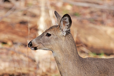 A female white deer closeup