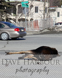 Highway Moose - 4-5-13 - Noon - Anchorage - Checkmate and Tudor - Photo by Dave Harbour