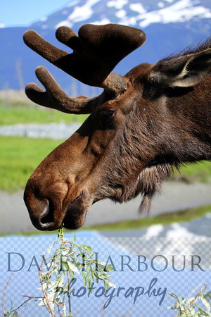 Bull moose inhaling willow branch for breakfast as summer breeze melts mountain glaciers....