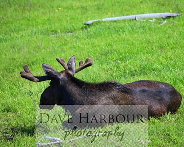 Bull moose resting in summer grass....