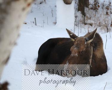 Radio collard backyard moose, December, Anchorage, Alaska