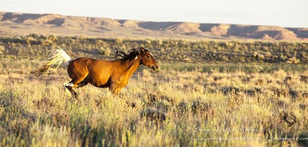 Wild mustang at full gallop.