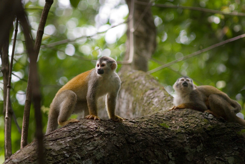 The Endangered Red Backed Squirrel Monkey -  Costa Rican Jungle stock photo. Costa Rica has four species of monkeys, including the capuchin, mono titi (red backed squirrel monkey), howler and spider. Photographed by professional wildlife photographer Christina Craft.