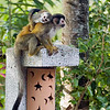 A mother and baby mono titi (red backed squirrel monkey) hanging out near a hotel outside of Manuel Antonio National Park in Costa Rica, Central America