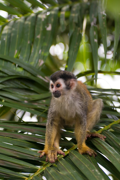 The endangered red backed squirrel monkey (also known as mono titi)