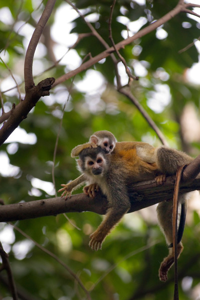 Mother and child monkey - red backed squirrel monkeys playing on a branch. This image was shot at 400ISO.