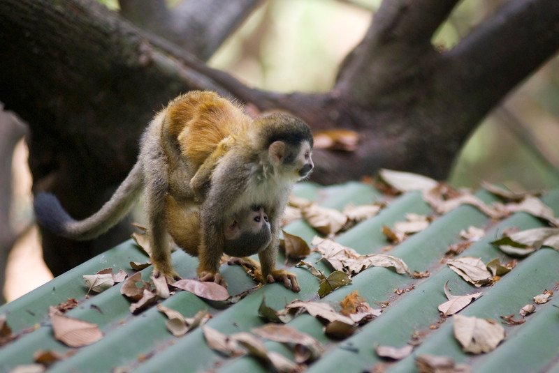 Red Backed Squirrel Monkey - Playing on a hotel roof near manuel antonio national park. - A mother and baby monkey