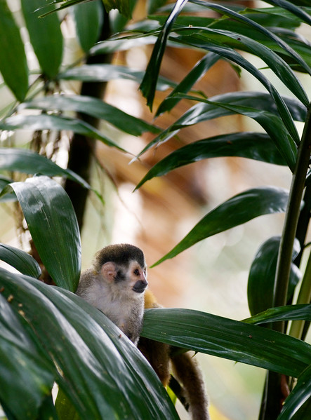 The critically endangered red backed squirrel monkey (mono titi) in the jungle of Costa Rica in Central America.
