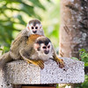 A red-backed squirrel monkey near Manuel Antonio National Park in Costa Rica (hanging around near hotels in the area)