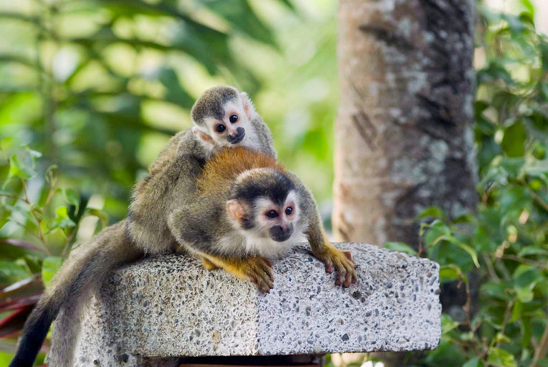 mother and child red-backed squirrel monkey near a hotel in Costa Rica.