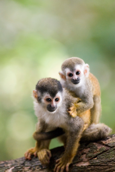 Red-backed squirrel monkey (mono titi) mother and baby in the costa rican rainforest