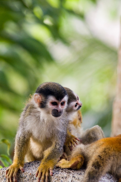 Mono Titis (red backed squirrel monkeys). A mother and her baby playing on a lampost at a hotel near Manuel Antonio National Park in Costa Rica -  Costa Rican Jungle stock photo. Costa Rica has four species of monkeys, including the capuchin, mono titi (red backed squirrel monkey), howler and spider. Photographed by professional wildlife photographer Christina Craft.