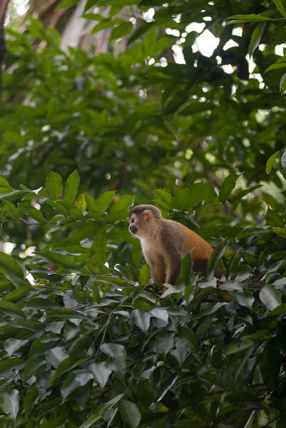 This is a baby red backed squirrel monkey. This species of monkey is highly endangered. Squirrel monkeys are aptly named since they are the size of a squirrel and weigh up to 1 kg -  Costa Rican Jungle stock photo. Costa Rica has four species of monkeys, including the capuchin, mono titi (red backed squirrel monkey), howler and spider. Photographed by professional wildlife photographer Christina Craft.