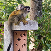 Mono titis (red-backed squirrel monkeys)