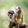 A baby mono titi (red-backed squirrel monkey) clings to its mother on a tree in the jungle of Costa Rica in Central America.