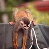 mono titi (red backed squirrel monkey) hanging off a hotel umbrella - Nature Stock Image by Professional Wildlife Photographer Christina Craft