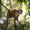 Monkey -  Costa Rican Jungle stock photo. Costa Rica has four species of monkeys, including the capuchin, mono titi (red backed squirrel monkey), howler and spider. Photographed by professional wildlife photographer Christina Craft.