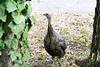2970 Wild Turkey