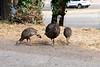 2994 Wild Turkeys