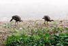 2966 Wild Turkeys