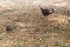 2981 Wild Turkeys