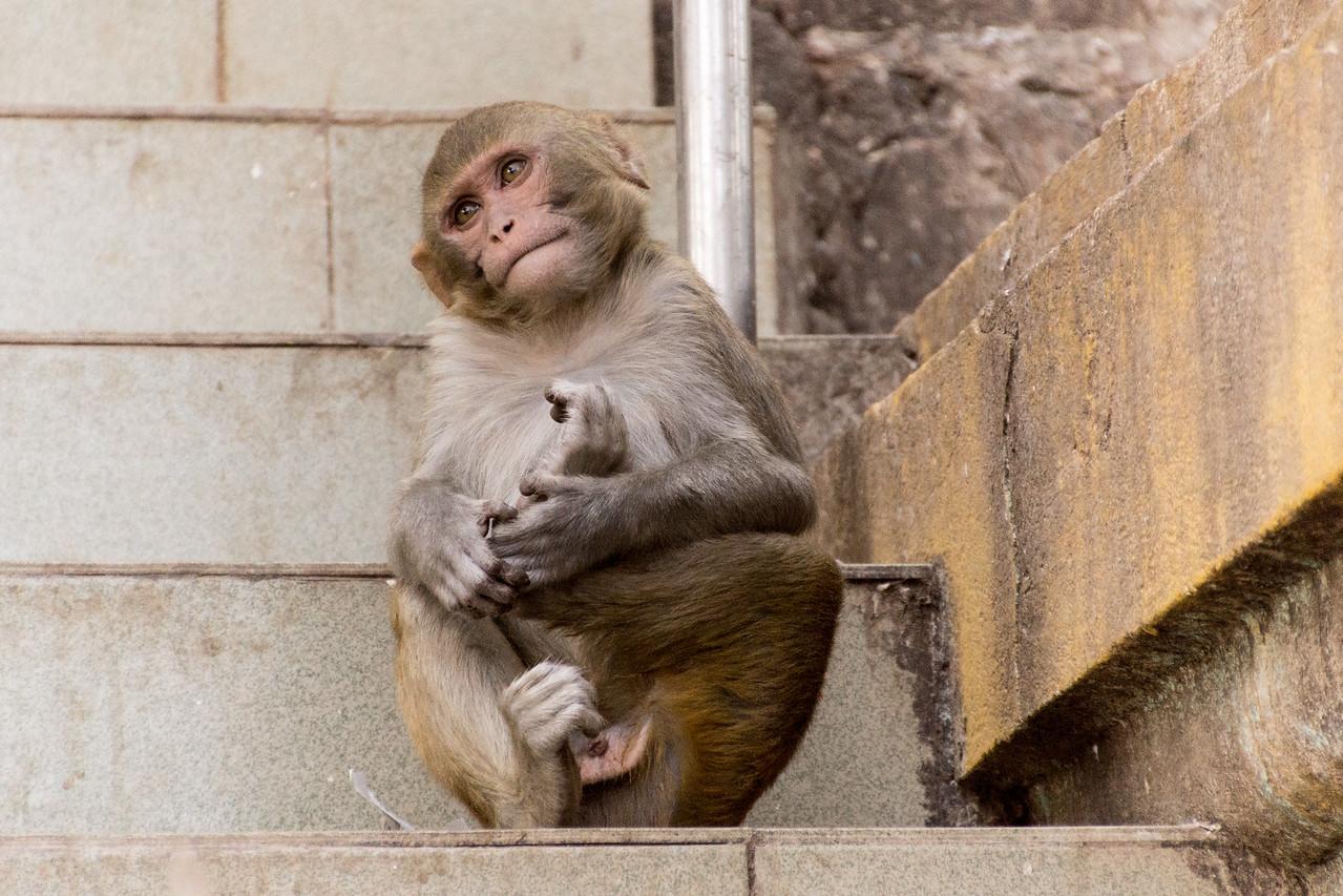 macaque (nursing foot), at Taung Kalat  market, Myanmar