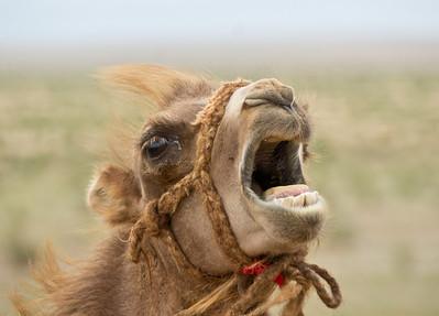 Camel, Gobi Desert, Mongolia