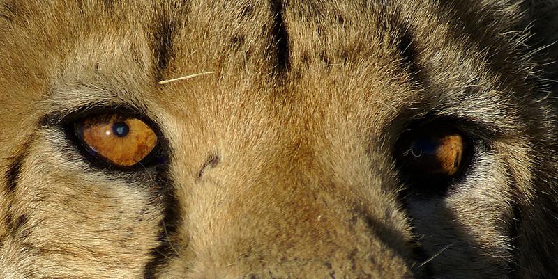 Cheetah, Okonjima, Namibia