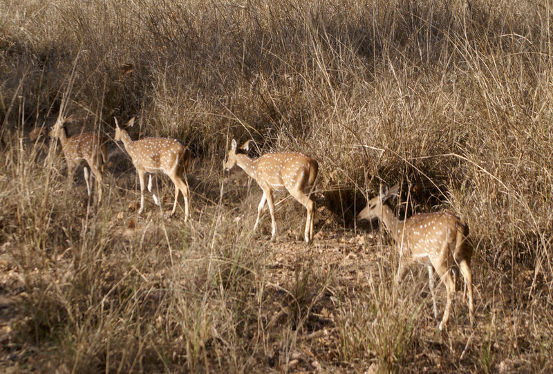 Deer, Kanha, India