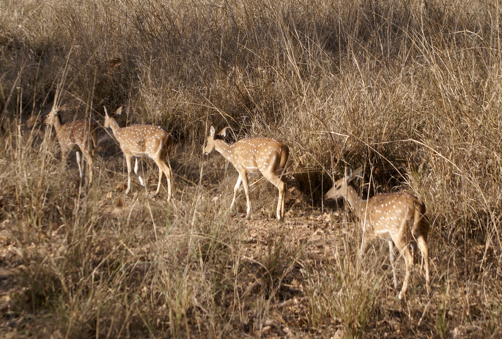 Deer, Kanha, India