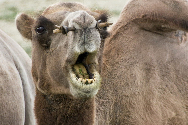 Camel, Near Moron, Mongolia