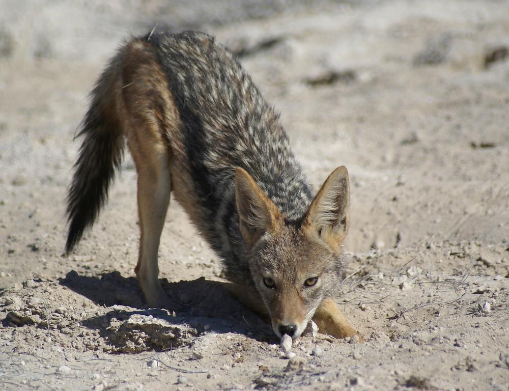 Jackal, Etosha, Namibia