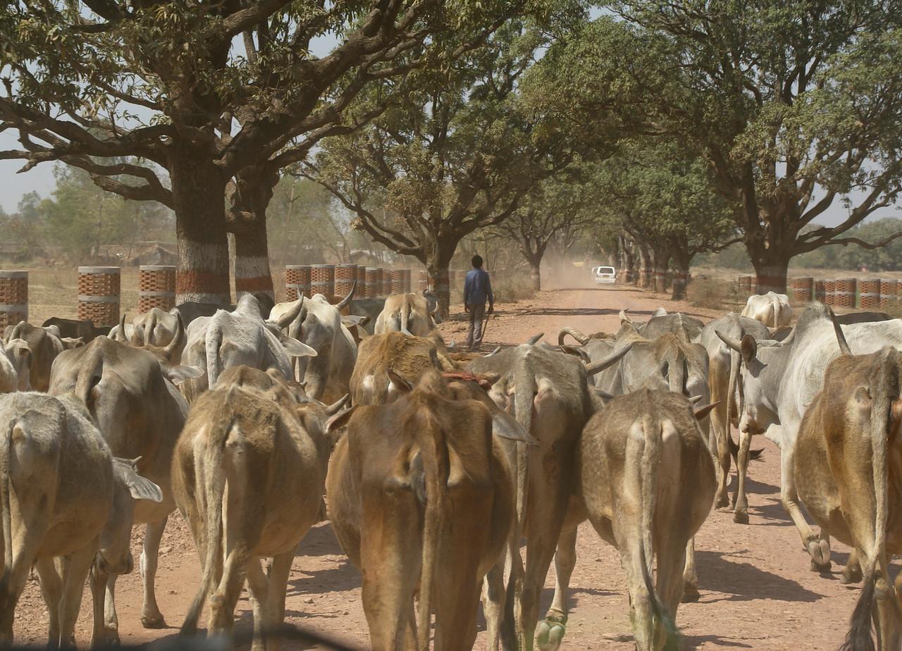 Cows, Khajuraho, India