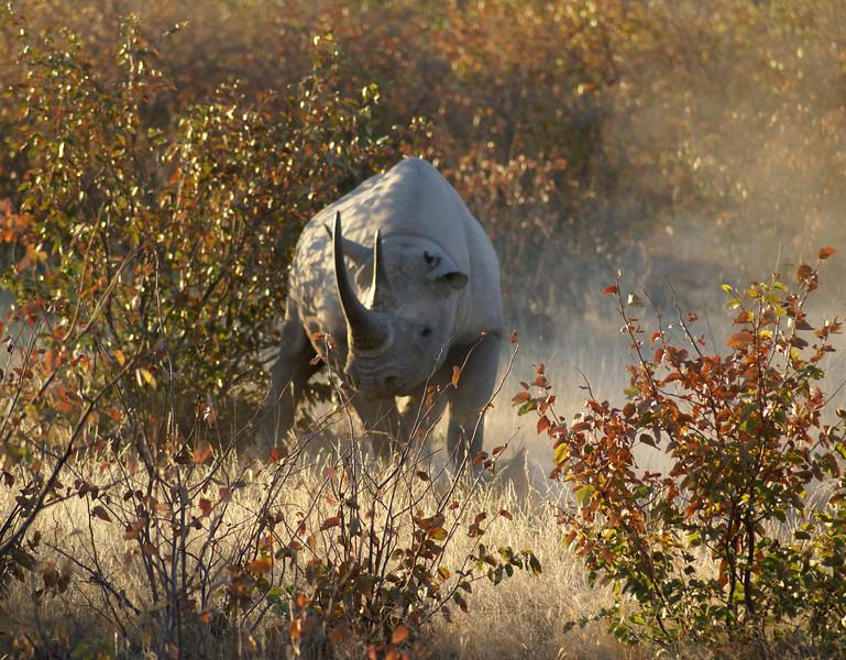 Black Rhinoceros, Etosha, Namibia