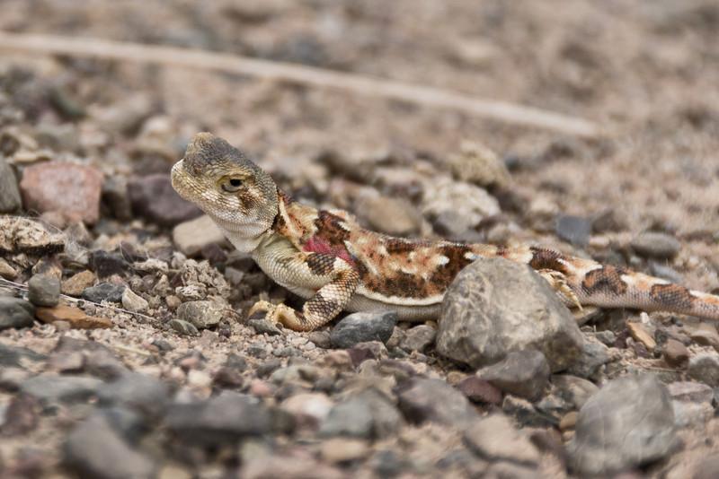 Lizard, Gobi Desert, Mongolia