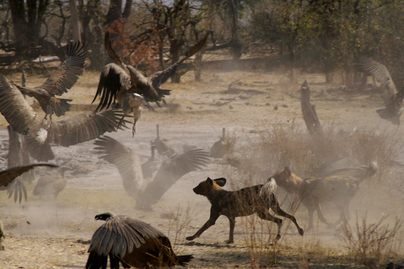 Wild Dog and Vulture, Linyanti, Botswana