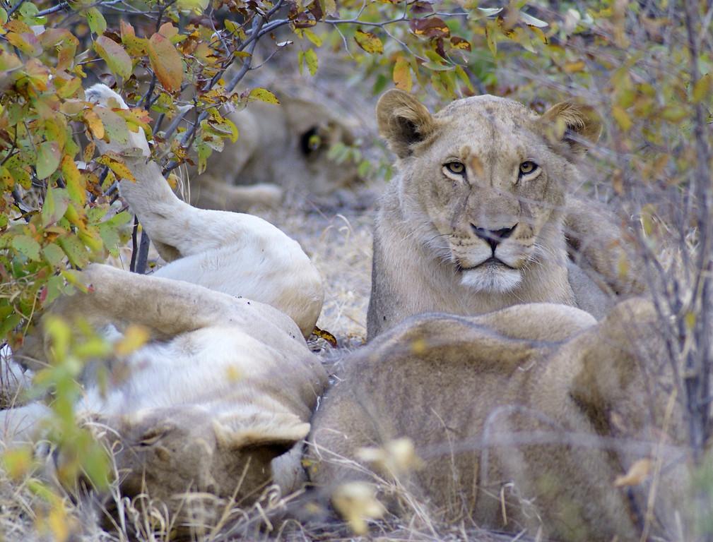 Lion, Lechwe, Botswana