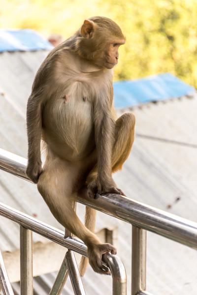 macaque,  Taung Kalat market, Myanmar