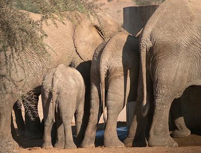 Elephant, Damaraland, Namibia