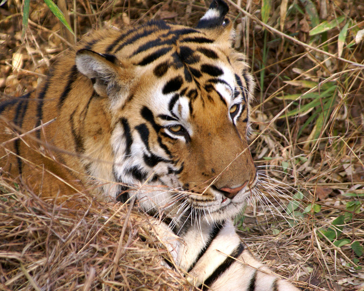 Tiger, Kanha, India