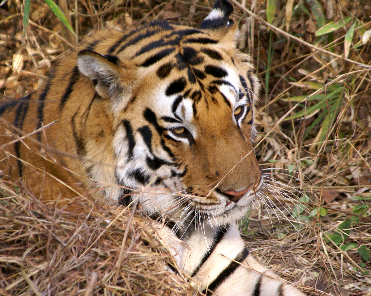 Tiger, Kanha, India