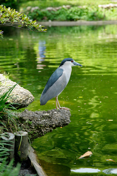 Black-crowned night heron?<br /> Japanese Garden, Ft. Worth, TX<br /> 29 April, 2007
