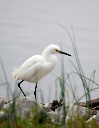 Was I ever lucky to happen by this snowy egret. It wasn't particularly afraid of me, either. I went back 2 days later to try to get more photos, but it was migrating and had already left the lake.