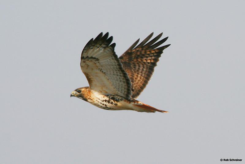 """Flyin Hawk"""