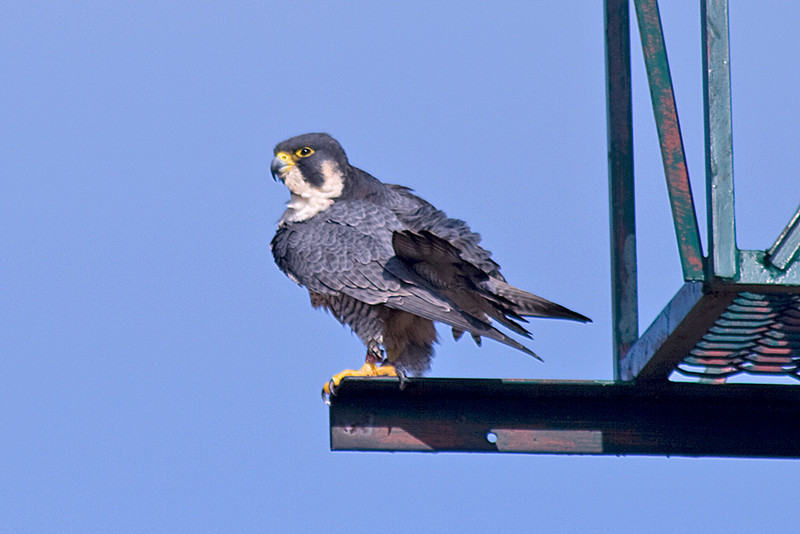 Peregrine Falcon at Montrose harbor, Chicago