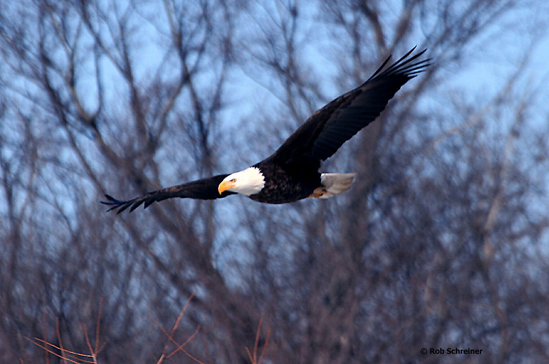 My first bald eagle siting, along the Illinois river south of Peoria.