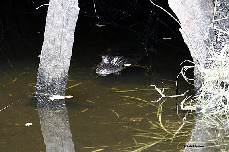 A small alligator hides out in a drainage culvert.