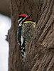 I was so delighted to see this bird in my backyard. All that suet has finally paid off. It took me awhile to ID it, but am sure it is a yellow-bellied sapsucker. Here you can clearly see the yellow on its upper belly.